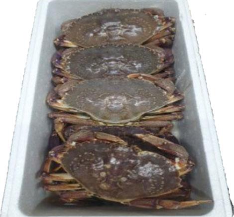 Granciporro Atlantico Giallo (Rock Crab)