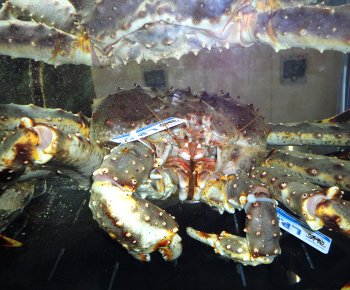 Granchio Reale (King Crab) / Paralithodes camtschaticus
