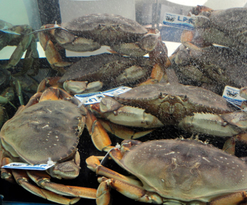 Granciporro (Dungeness Crab) / Cancer magister