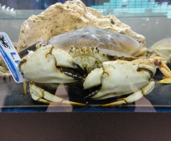 Granciporro Atlantico (Jonah Crab) / Cancer borealis